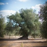 Ancient olive trees in Latiano