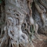 Knobbly olive trees in Latiano